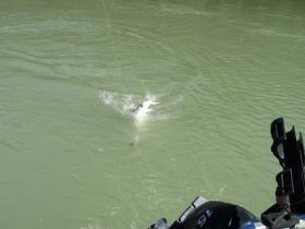 sturgeon-behind-boat-fraser-river